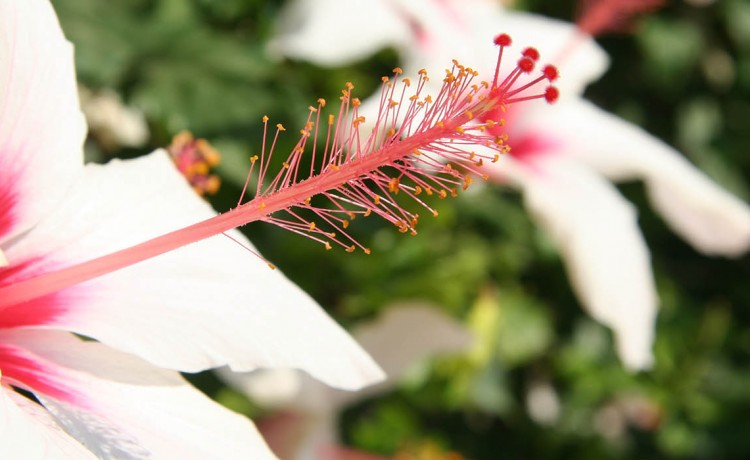 Hibiscus at the garden of Alpha Omega rooms in Drios Paros